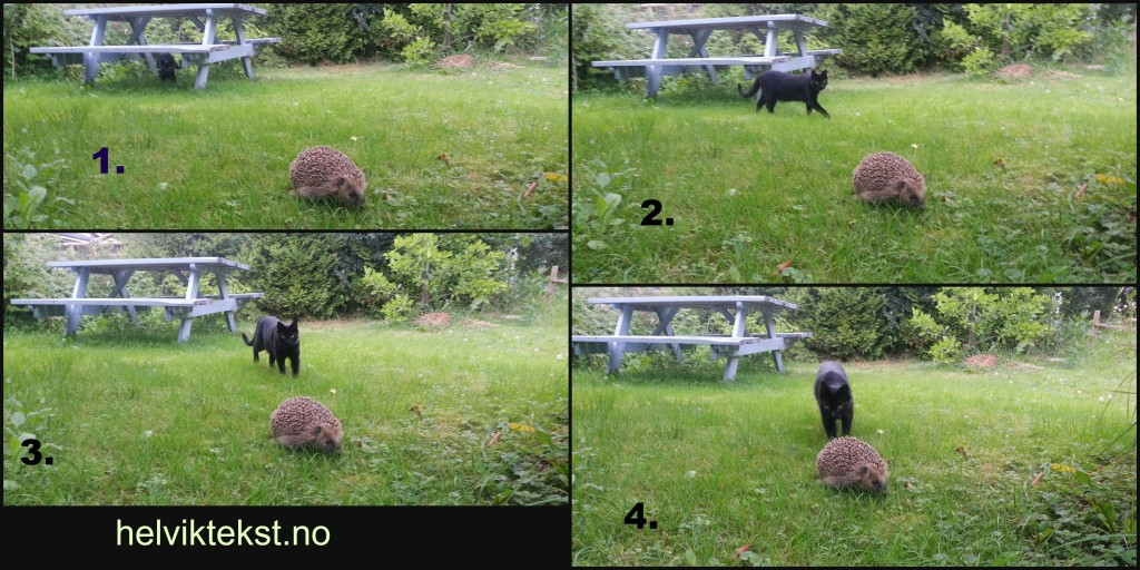 Fire bilete av ein svart katt som nærmar seg eit pinnsvin i ein hage.