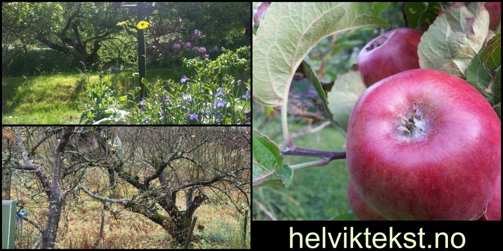 Eit sommar og eit haustbilete av epletre. Eit nærbilete av nokre raude eple som heng på treet.